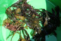 9.sea weed