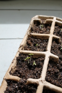 emerged seedlings