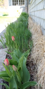 10.tulips and greenery out front