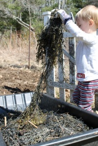 2.Finn spreading seaweed