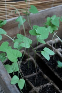 8.morning glory seedlings