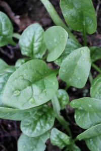 close-up baby spinach