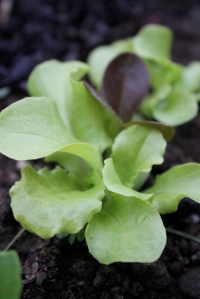 more baby lettuce aka mesclun mix
