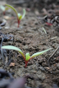 swiss chard beginnings