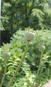 curved poppy pods