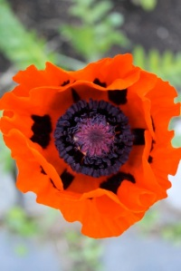 opened poppy