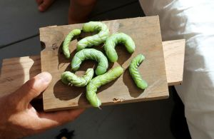 tomato worms on plate