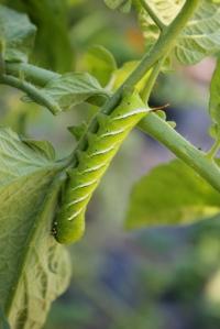 tomatoe worm